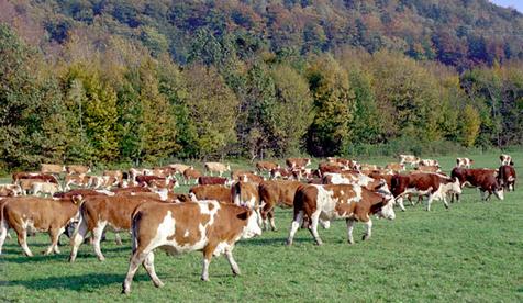 Jak Synchronizować Ruje W Stadach Bydła Mięsnego Bukaciarnia
