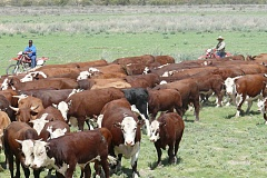 obe-organic-cattle-in-the-channel-country-grasslands-of-australia-21.jpg