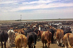 co-to-jest-feedlot